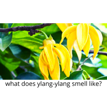 WHAT DOES YLANG YLANG SMELL LIKE?